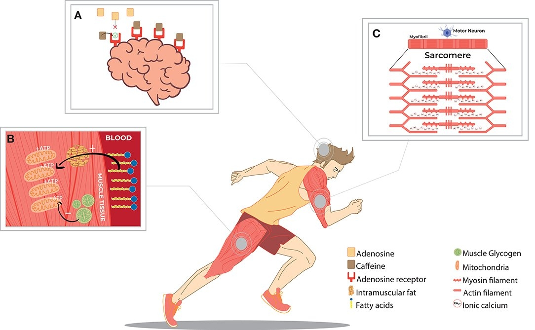 Frontiers | Caffeine And Exercise Performance: Possible within 19066012 Dia Juliano Photo