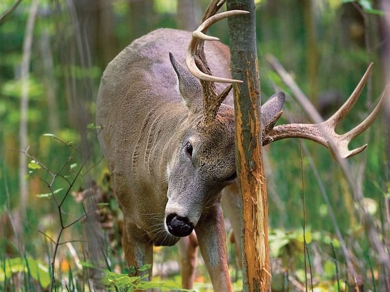 How To Hunt Whitetail Deer On A Staging Area | Field & Stream with regard to Whitetail Deer Activity Image