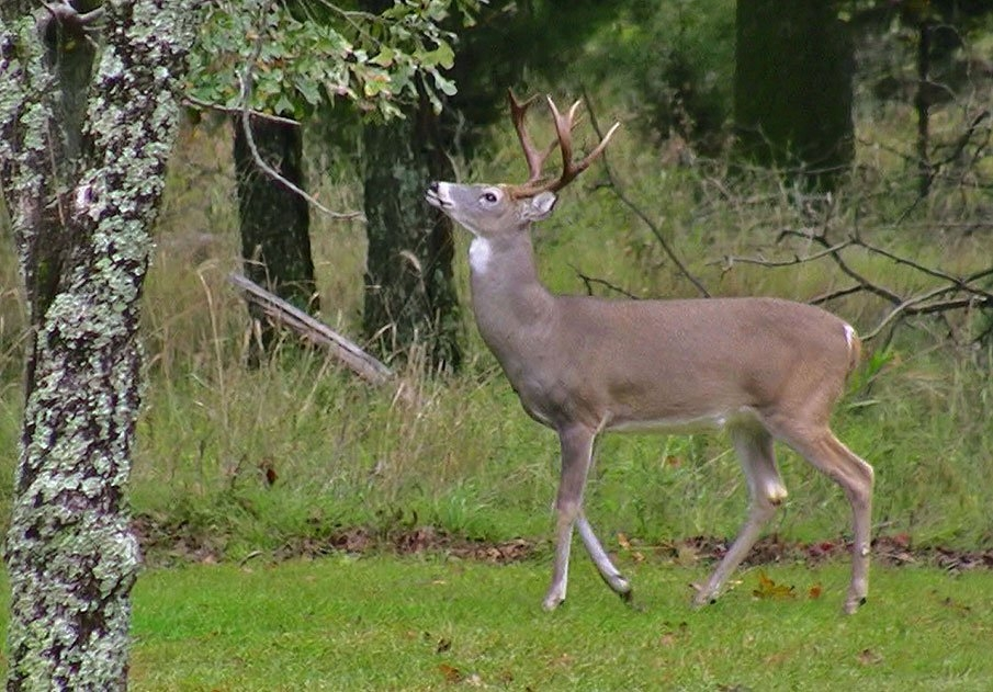 Understanding Whitetail Activity And Movement Yields Better with regard to Whitetail Deer Activity